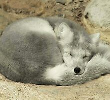 Sleeping Arctic Fox by Fareday