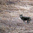 Suburban Coyote by Allison Lane