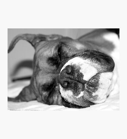 Fawn boxer dog sleeping Photographic Print
