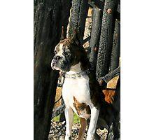 Senior Brindle boxer dog Photographic Print