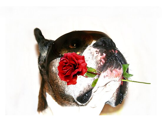 Boxer dog with rose by ritmoboxers