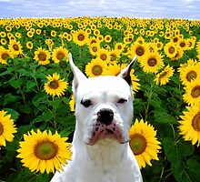 White Boxer in Sunflowers by ritmoboxers