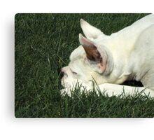 White boxer dog sleeping Canvas Print