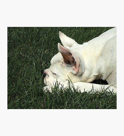 White boxer dog sleeping Photographic Print