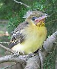 Second Baby Oriole by Ginny York