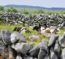 Stone walls and cattle at rest by IrishShop