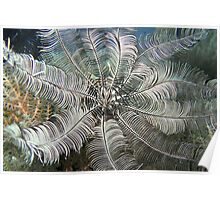 Feather Star (close-up) Poster