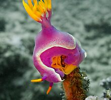 Nudibranch laying eggs... by Marcel Botman