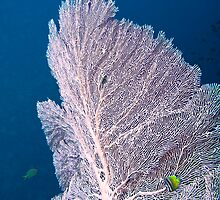 Pink Fan Coral by Marcel Botman