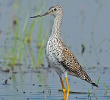 Yellowlegs by photosbyjoe