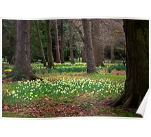 A Walk in the Woods - Spring Daffodils Poster