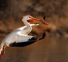 American White Pelican - Graceful Landing by Ryan Houston