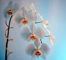 Orchid Branch by Roger Otto
