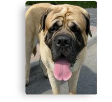 Neapolitan Mastiff dog Canvas Print