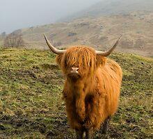 Highland Coo on a misty hillside. by Empato Photography