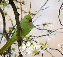 Ring Necked Parakeet on branch by Ellesscee