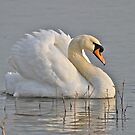 A Very Fine Swan Indeed by dilouise