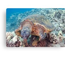 Green Sea Turtle Longevity Canvas Print