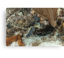 Baby Hawksbill Turtle Feeding Canvas Print