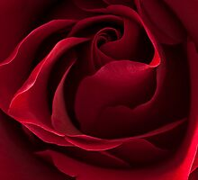 Dark Red Rose by AnnieD