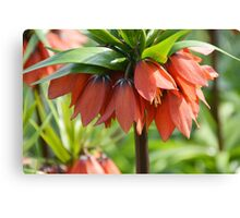 Orange Crown imperial Canvas Print