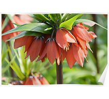 Orange Crown imperial Poster