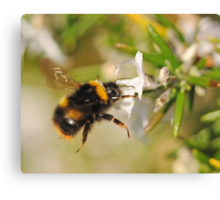Hovering Bumblebee Canvas Print