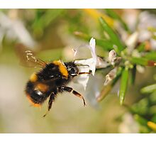 Hovering Bumblebee Photographic Print