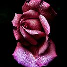 Morning Rose by Peter Hill