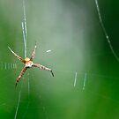 Tiny Spider by Agus Achmadyana