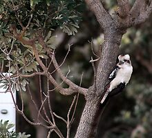 Kookaburra Sitting In A Tree by Bianca Robinson
