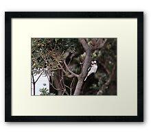 Kookaburra Sitting In A Tree Framed Print
