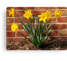 Daffodils in German Village: Harbingers of Spring Canvas Print