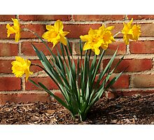 Daffodils in German Village: Harbingers of Spring Photographic Print