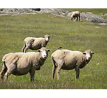Roly Poly sheep in our paddock. 'Arilka' Adelaide Hills, Sth. Aust. Photographic Print