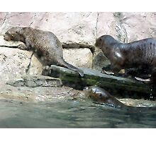Giant otters leave a pool Photographic Print