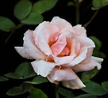 Queen Elizabeth Rose by heatherfriedman