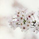 Sakura by BryanLee