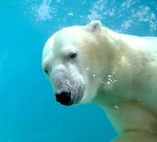 Swimming Polar Bear by evamay