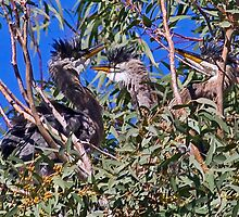 Baby Herons by Marvin Collins