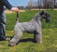 Kerry Blue Terrier by anibubble