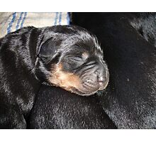 A New Arrival - Rottweiler Puppy Photographic Print