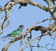 australian ringneck parrot (race bernardii) by jeroenvanveen