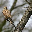 Common kestrel by Yves Roumazeilles