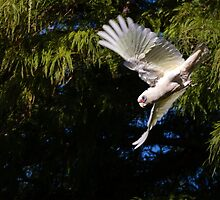 Short-billed Corella in Flight by Sandra Chung