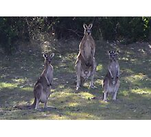 The 3 Kangaroos Photographic Print