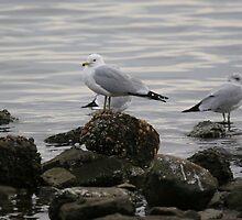 Seagull by JGetsinger