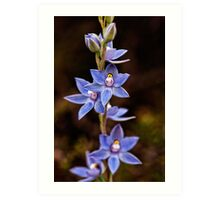 Scented Sun Orchid Art Print