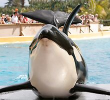 Orca Whale in Loro park Tenerife by Keith Larby