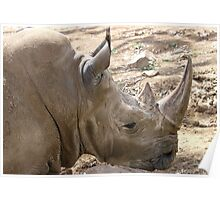 Square-lipped Rhinoceros Poster